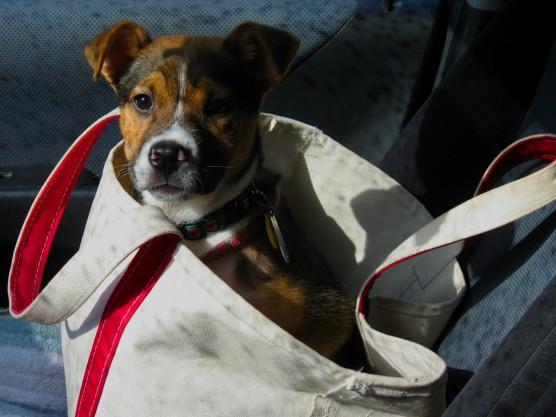 llbeanのトートバッグに入る犬